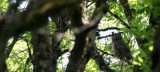 BIRD - OWL - GREAT-HORNED OWL - RIDGEFIELD NWR WA (5).JPG