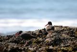 BIRD - Oyster Catcher - BLACK X AMERICAN HYBRID - Anacapa Island (6).jpg