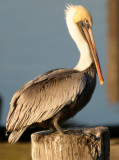 BIRD - PELICAN - BROWN - ARANSAS A (4).jpg
