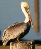 BIRD - PELICAN - BROWN - ARANSAS A (5).jpg