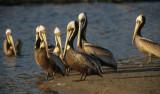 BIRD - PELICAN - BROWN - MALIBU CALIFORNIA F.jpg