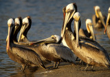 BIRD - PELICAN - BROWN - MALIBU CALIFORNIA J.jpg
