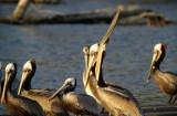BIRD - PELICAN - BROWN - MALIBU CALIFORNIA.jpg
