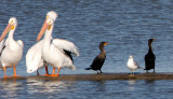 BIRD - PELICAN - WHITE - ARANSAS A (5).jpg