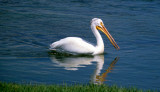 BIRD - PELICAN - WHITE - WYOMING D.jpg