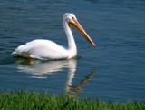 BIRD - PELICAN - WHITE - WYOMING E.jpg