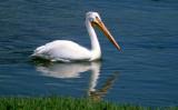 BIRD - PELICAN - WHITE - WYOMING.jpg