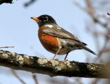 BIRD - ROBIN - LINCOLN MARSH ILLINOIS (2).JPG