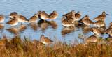BIRD - SANDPIPERS - STILT - ARANSAS (3).jpg