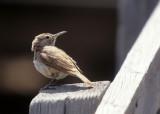 BIRD - THRASHER - BENDIRE'S  THRASHER - WYOMING SOMEWHERE (2).jpg