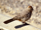 BIRD - TOWHEE - CANYON - CHACO NM A.jpg