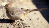 BIRD - TOWHEE - CANYON - CHACO NM.jpg