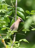 BIRD - WAXWING - CEDAR WAXWING - RIDGEFIELD NWR WA (3).JPG