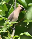 BIRD - WAXWING - CEDAR WAXWING - RIDGEFIELD NWR WA (4).jpg