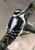 BIRD - WOODPECKER - DOWNY WOODPECKER - LINCOLN MARSH ILLINOIS (20).JPG