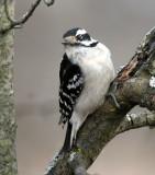 BIRD - WOODPECKER - DOWNY WOODPECKER - LINCOLN MARSH ILLINOIS (27).JPG