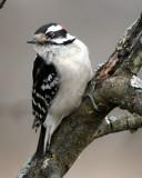 BIRD - WOODPECKER - DOWNY WOODPECKER - LINCOLN MARSH ILLINOIS (28).JPG