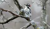 BIRD - WOODPECKER - DOWNY WOODPECKER - LINCOLN MARSH ILLINOIS (5).JPG