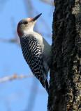 BIRD - WOODPECKER - RED-BELLIED WOODPECKER - MCDOWELL GROVE RESERVE ILLINOIS (10).jpg