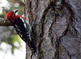 BIRD - WOODPECKER - RED-BREASTED SAPSUCKER - LAKE FARM TRAILS.JPG