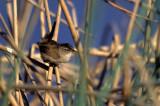 BIRD - WREN - MARSH - SACRAMENTO DELTA.jpg