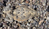 REPTILE - HORNED LIZARD - NEAR OWENS VALLEY AND DEATH VALLEY B.jpg