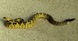 REPTILE - SNAKE - BLACK-TAILED RATTLER - CROTALUS SPECIES -  MADERA CANYON.jpg