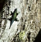 REPTILE - SPINY LIZARD - IRIDESCENT GREEN - ARIZONA MOUNT WRIGHTSON A.jpg