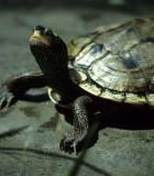 REPTILE - TURTLE - WESTERN POND TURTLE - CA.jpg