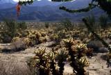 ANZA BORREGO - CACTACEAE - OPUNTIA BIGLOVII - TEDDY BEAR CHOLLA  FOREST A.jpg