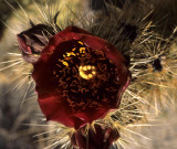 ANZA BORREGO - CACTACEAE - OPUNTIA ECHINOCARPUS - SILVER CHOLLA.jpg