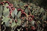 ANZA BORREGO - CACTACEAE - OPUNTIA PHAEACANTHA - PRICKLY PEAR CACTUS.jpg