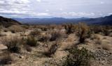 ANZA BORREGO - LEGUMINOSEAE - PAROSELA SPINOSA - SMOKE TREE IN TRANSITION ZONE - MOJOVE AND COLORADO DESERT.jpg