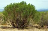 ARIZONA - MADERA CANYON - BACCHARIS SAROTHROIDES - DESERT BROOM B.jpg