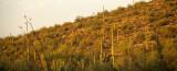 ARIZONA - SAGUARO CACTUS - CARNEGIEA GIGANTEA FOREST - SAGUARO NP R.jpg