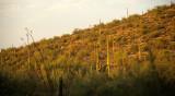 ARIZONA - SAGUARO CACTUS - CARNEGIEA GIGANTEA FOREST - SAGUARO NP.jpg