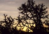 JOSHUA TREE - SUNSET THROUGH PENCIL CHOLLA.jpg