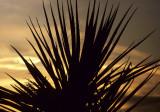 JOSHUA TREE - SUNSET THROUGH YUCCA.jpg