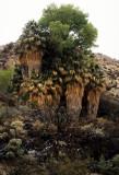 JOSHUA TREE - WASHINGTONIA FILIFERA OASIS - WASHINGTON PALM OASIS.jpg