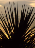 JOSHUA TREE - YUCCA SPECIES IN SUNSET.jpg