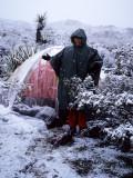 JOSHUA TREE IN SNOW A.jpg