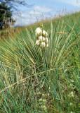 GREAT PLAINS - PLANT SPECIES B.jpg