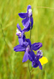 MONTANA - GLACIER - PLANT SPECIES B.jpg