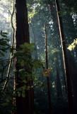 CALIFORNIA - POINT REYES - SEQUOIA SEMPERVIRENS - COASTAL REDWOOD IN SAMUAL P TAYLOR SP.jpg