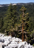 CALIFORNIA - YOSEMITE - SIERRA JUNIPER AND PINE BELT ON EXFOLIATED GRANITE (2).jpg