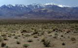 DEATH VALLEY - ARTEMISIA COMMUNITY - WITH PANAMINTS IN BACKGROUND.jpg