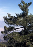 DEATH VALLEY - PINUS FLEXILIS - LIMBER PINE - PANAMINT RANGE.jpg