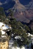 ARIZONA - GRAND CANYON - SOUTH RIM VIEW - JUNIPERUS UTAHENSIS A.jpg