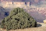 ARIZONA - GRAND CANYON - SOUTH RIM VIEW - SHEPHERDIA ROTUNDIFOLIA - ROUNDLEAF BUFFALOBERRY.jpg