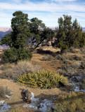 ARIZONA - GRAND CANYON - SOUTH RIM VIEW - YUCCA ANGUSTISSIMA - DAGGER YUCCA.jpg